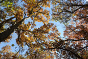 The sun shines through the golden-hued foliage of oak trees at the Arboretum. (Photo by Jeff Miller/UW-Madison)