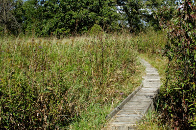 The boardwalk from B1–B2 in Curtis Prairie runs over a stormwater channel and through a patch of invasive reed canary grass.