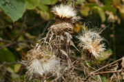 Field thistle seedheads