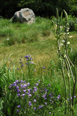 Harebell and white wild indigo, foreground; shortgrass garden and CCC monument, background. Photo by Susan Carpenter