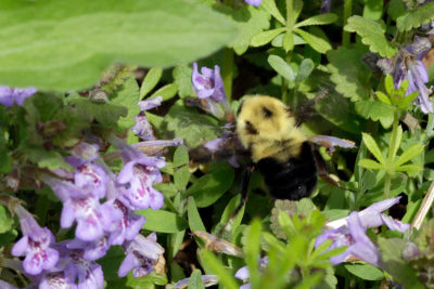 Two-spotted bumble bee foraging on creeping Charlie