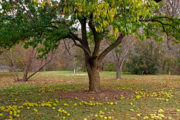 Osage orange tree in Longenecker Horticultural Gardens with fallen fruit on the ground.