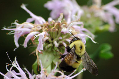 Rusty-patched bumble bee queen on monarda