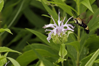 Snowberry clearwing on bee balm