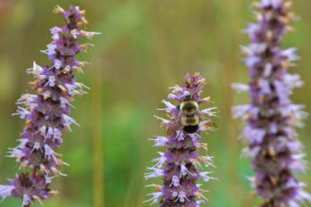Rusty-patched bumble bee on lavender giant hyssop