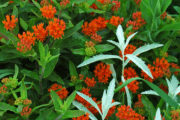 White sage and butterfly-weed in prairie garden