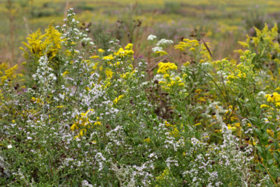 Asters and goldenrod in Native Plant Garden