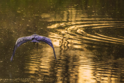 photograph of bird gliding over water