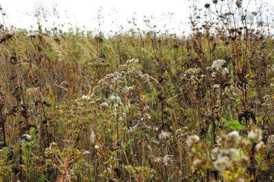 Seed heads on native prairie plants