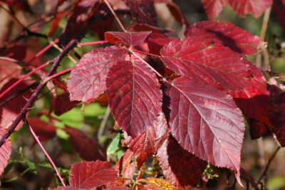 Blackberry leaves turn deep red in fall