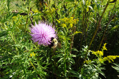 Rusty-patched bumble bee (Bombus affinis) gyne on native thistle. (Photo: Susan Carpenter)