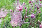 Prairie smoke in bloom
