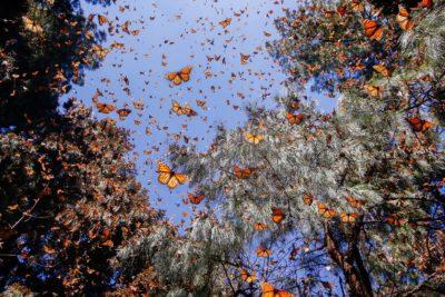 Hundreds of monarch butterflies in flight