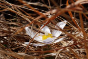 Pasqueflower blooming among dried grasses in spring