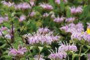bumble bee foraging on native monarda