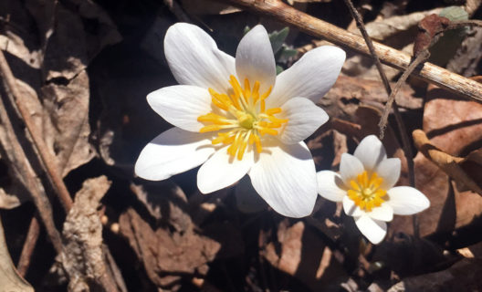Bloodroot, Wingra Oak Savanna, April 8, 2019 (Photo: Stephanie Petersen)