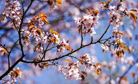 Cherry tree blossoms in Longenecker Horticultural Gardens