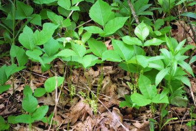 Poison ivy with flower stalks growing.