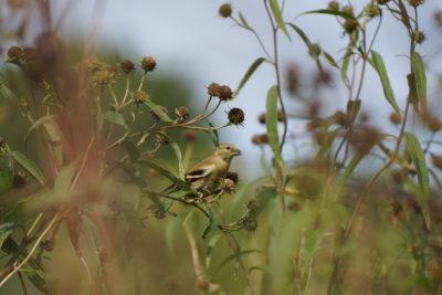 Goldfinch feeding on seeds in flowerheads