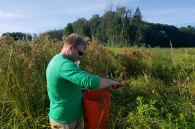 Isaac Bailey collecting wool grass (Scirpus cyperinus) seed in Teal Pond Wetlands