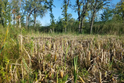 Cleared cattail area in Teal Pond Wetland