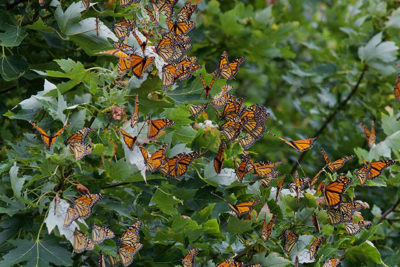 Monarch butterflies at the Madison Audubon's Goose Pond Sanctuary in Arlington. Photo: Arlene Koziol