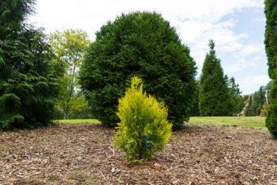 Giant western arborvitae (Thuja plicata) in the Viburnum Garden