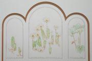 Botanical drawings of bloodroot by David Kopitzke