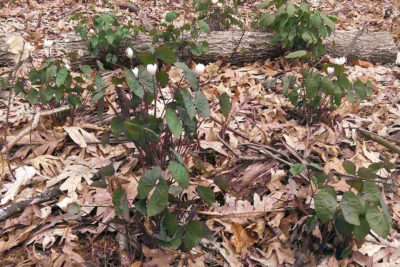 Twinleaf, a Wisconsin species of special concern, growing in the recently cleared roadside area of Noe Woods
