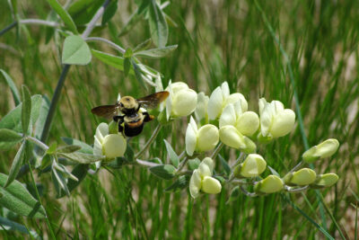 Brown-belted bumble bee on cream wild indigo