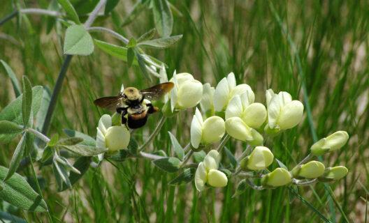 Brown-belted bumble bee on cream wild indigo
