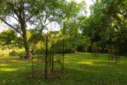 New plantings of Virginia round-leaf birch