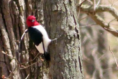 Red-headed woodpecker in the Grady Tract