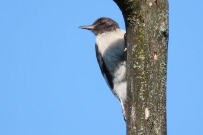 Juvenile red-headed woodpecker in the Grady oak savanna restoration