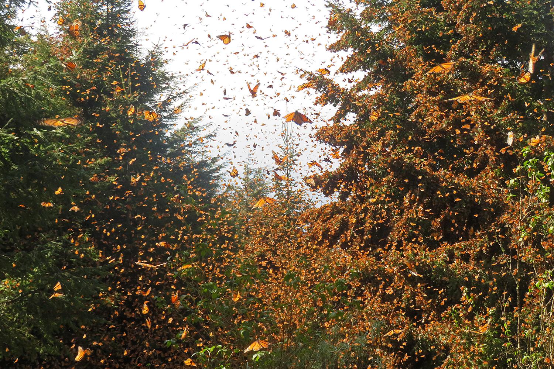 Monarch butterflies overwintering at Cerro Pelon Sanctuary, Mexico.