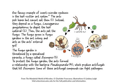 "Illustration and text about leaf-cutter ants from ""The Wonderful World of Microbes."""