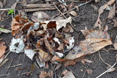 Leaf cluster where earthworms pulled the leaves into burrow.