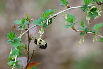 Two-spotted bumble bee foraging on pendulous flowers of gooseberry.