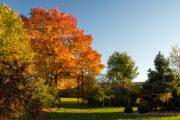 'Autumn Purple' white ash, view from Longenecker Horticultural Gardens