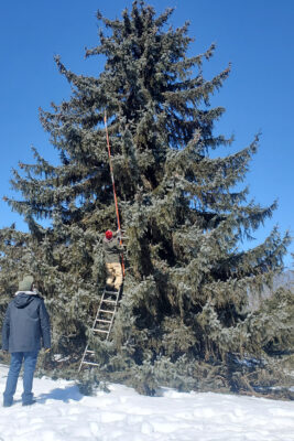 Two people collecting a cutting from the 'Troemner' Spruce for nursery propagation