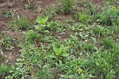 Weeds in Native Plant Garden