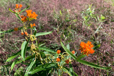 Butterfly-weed blooming in the new short grass prairie garden in the Native Plant Garden